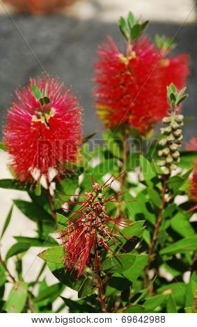 Spent Bottlebrush Flower