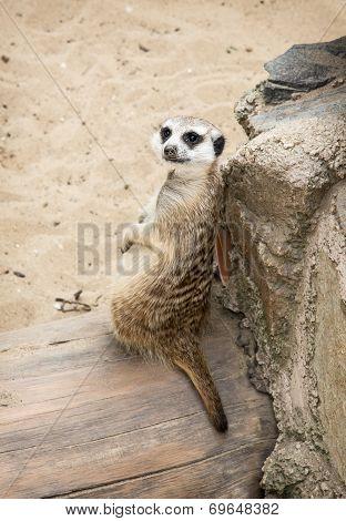 Portrait Of A Meerkat (suricata Suricatta)