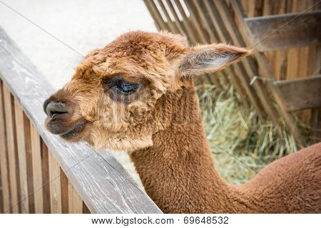 Portrait Of An Alpaca Cub