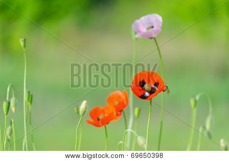 Blossom of the red wild poppies with seeds