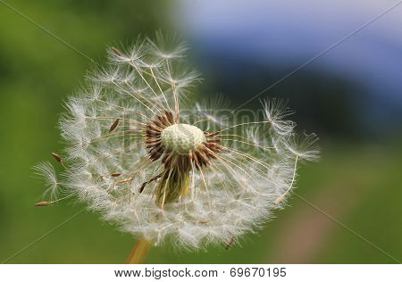 Fluffy Head Of Withered Dandelion