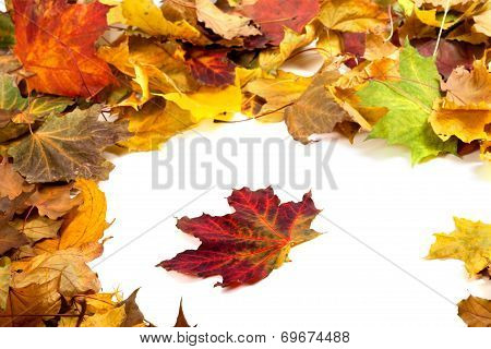 Autumn Dry Maple Leafs