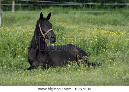 Stallion On The Meadow