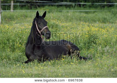 Stallion On The Meadow