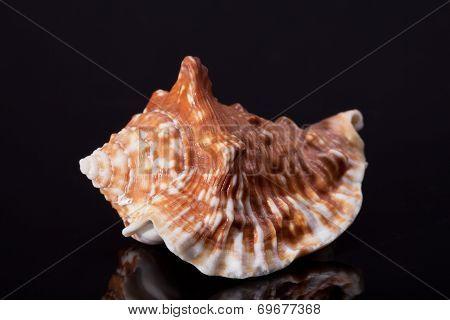 single seashell isolated on black background