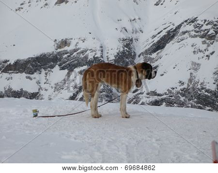 A Large St Bernard Working Dog In The Alps
