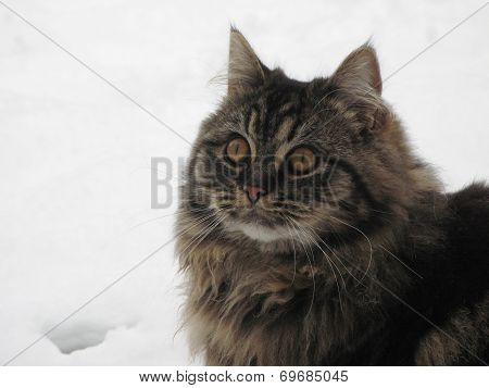 Very Handsome Cute Long Haired Brown Kitten