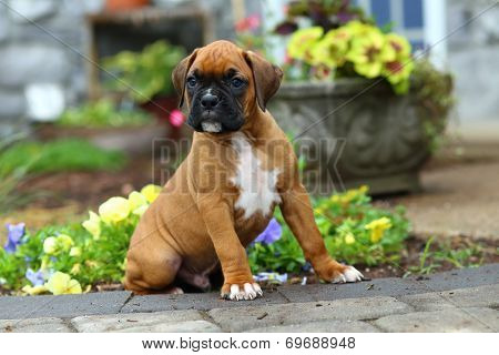 Boxer puppy sitting on stone pathway