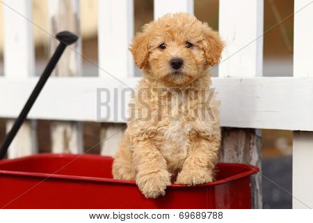 Fluffy puppy on red wagon