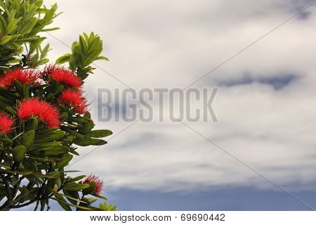 Pohutukawa tree against a partly cloudy sky. New Zealand