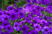 picture of petunia  - Flowerbed beautiful purple flowers purple Petunia Blue fantasy