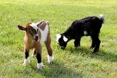 pic of billy goat  - Two baby goats on a farm are outside grazing and eating grass.