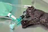 picture of anesthesia  - Animal surgery cat with anesthesia breathing circuit set - JPG