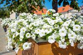 picture of petunia  - White petunias on the street - JPG