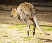 picture of wallabies  - Image of a hopping wallaby in nature - JPG