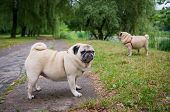 stock photo of pug  - Two little pugs walking outdoors - JPG