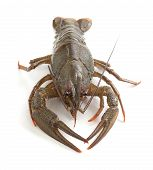 picture of crawfish  - Alive isolated crawfish on the white background - JPG