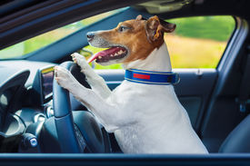 stock photo of steers  - dog driving a steering wheel in a racing car - JPG