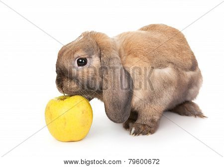 Dwarf rabbit sniffs the yellow apple.