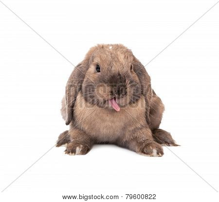 Rabbit puts out one's tongue.