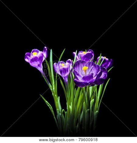 Crocus Spring Flowers on black background