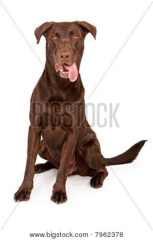 Chocolate Labrador Retriever With Tongue Out