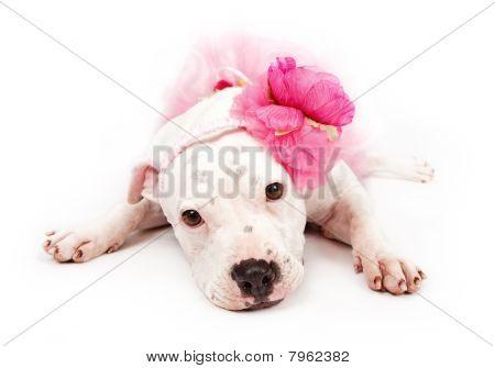 White Pit Bull Dog Wearing Pink