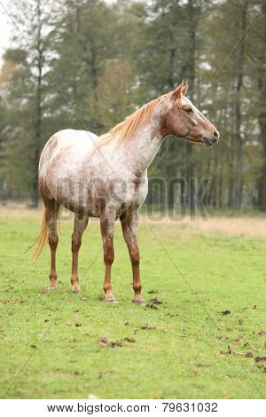 Potrait Of Beautiful Appaloosa Mare