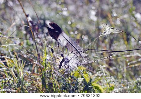 Wild Dove Pigeon Feather In Dewy Summer Grass