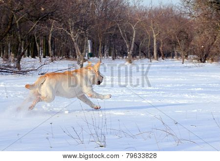 Yellow Labrador In Winter Running