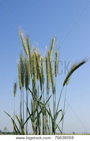 Ears Of Grass Close-up, On A Background Of Blue Sky