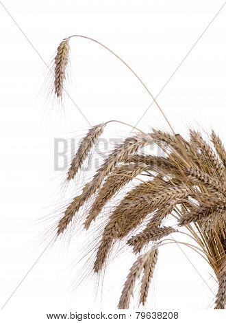Ripe Ears Of Wheat On A White Background