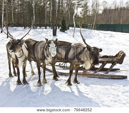 Three Deers In Carriage