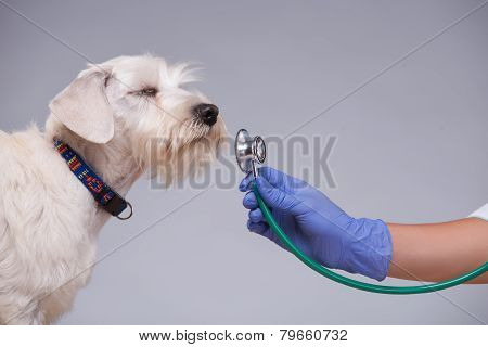 Female veterinarian examines little dog with stethoscope