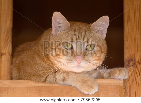Ginger tabby cat resting on a rustic wooden staircase, looking attentively down at the viewer