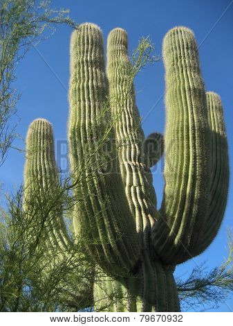 Old Survivor Saguaro