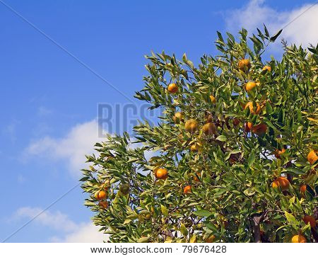 Satsuma Mandarin Tree With Fruits And Leaves