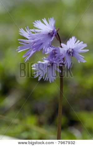 Alpine Snowbell - Soldanella alpina