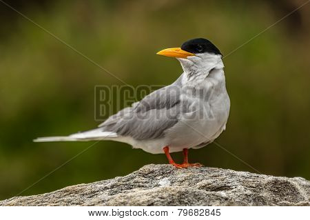 Left Profile of River Tern