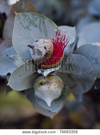 Eucalyptus Rhodantha, Kings Park, Western Australia