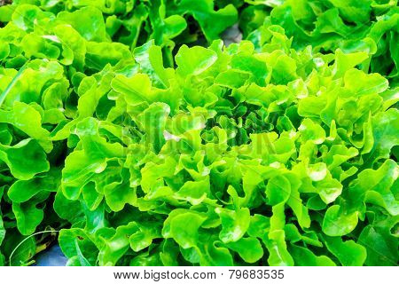 Close Up Of Organic Hydroponic Vegetable