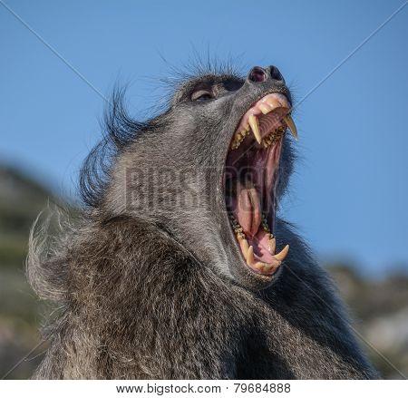 Chacma Baboon 'yawning'