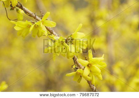 Closeup Of Forsythias Flowers In Bloom