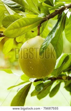 Green Pomelo On Tree Branch
