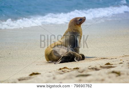 sea lion in san cristobal galapagos islands