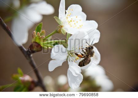 Busy Bee Collecting Pollen