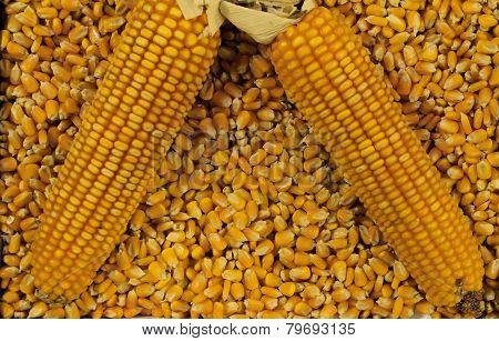Yellow corn cobs on kernels