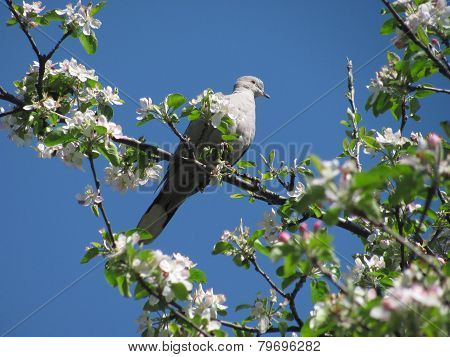 collared dove on the blooming apple tree