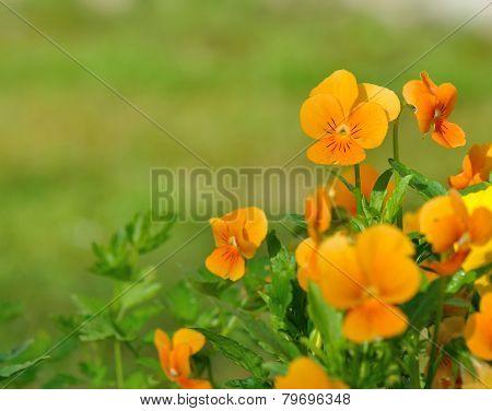 Pretty Orange Viola