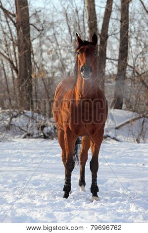 Quarter horse in the winter stud farm